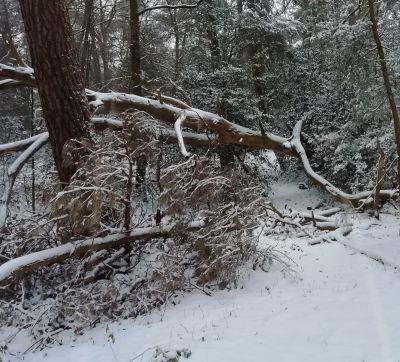 Dood hout valt door het gewicht van sneeuw!